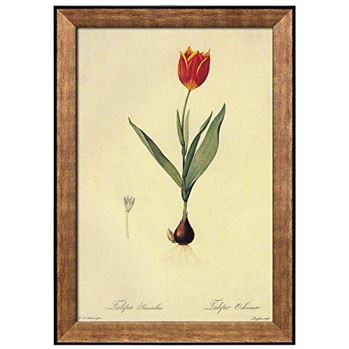 Scientific Illustration of a Flower Inside of a Beautiful Frame Tulipa Suaveolens by Pierre Joseph Redoute Framed Art