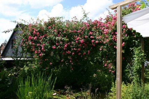American Pillar Container Rose im 7 ltr.Topf