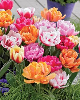 Double Late Tulip Mixture-- 15 Nice, Fat Bulbs! Value Pack! Pre-chilled Read for Spring!!