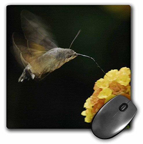 3dRose LLC 8 x 8 x 0.25 Hummingbird Hawk-Moth Bird Drinking Switzerland Rolf Nussbaumer Mouse Pad ()