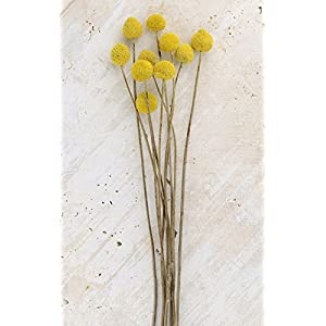 10 Preserved Billy Buttons Craspedia - Excellent Home Decor - Indoor & Outdoor 23