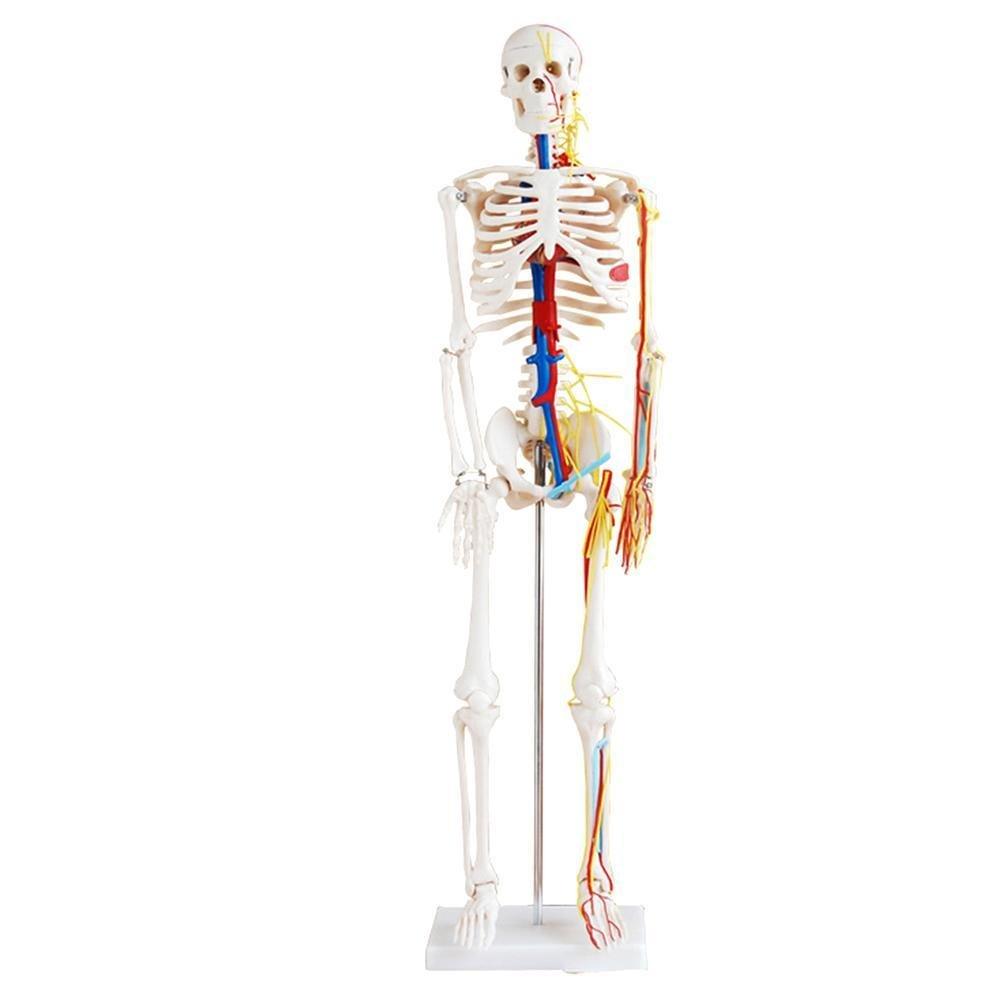 Binglinghua - Modelo anatómico de esqueleto humano (85 cm), diseño ...