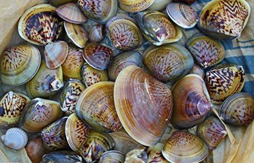 Dried seafood clam 750 gram from South China Sea Nanhai
