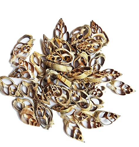 East-J 35 pcs Center Cut Strombus Shells (Crafts or Jewelry Supply) (Strombus Shell)