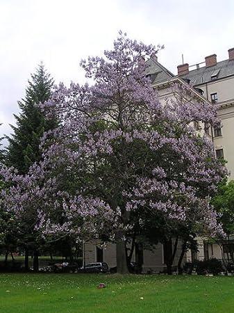 Amazoncom 400 Royal Paulownia Empress Tree Tomentosa Flower
