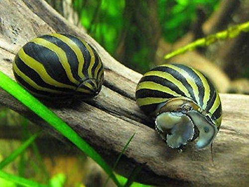 Hot Sale! 5 Zebra Nerite Snails Live Freshwater Aquarium - Draw Poison Frog