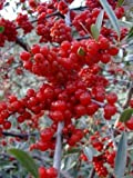 Autumn Olive, Elaeagnus Umbellata, Tree 30 Seeds, Edible Fruit! Hardy!