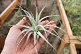 Airplant Tillandsia Subsecundifolia 2 Pack (Grown and Shipped From California)