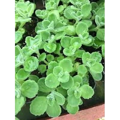 Mini Garden Vick's Plant - 5 un-Rooted cuttings, Fast Growing, Easy Care, Smells Great! : Garden & Outdoor