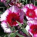 Dianthus Super Parfait Series Flower Seeds - Annual Flower Garden Seeds - Dianthus chinensis