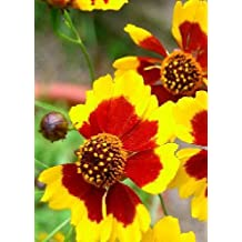 TROPICA - Golden Coreopsis (Coreopsis tinctoria Gold Star) - 300 Seeds - Summer-flowers