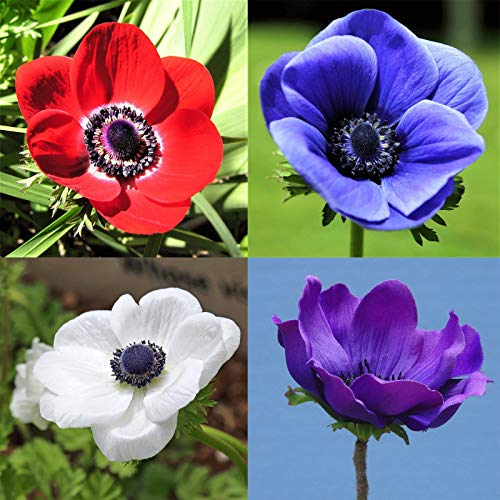 (Mix Anemone Bulbs-2 Bulbs- Dutch Windflowers Charming Flowering Bulbs Great Garden Courtyard Home Adornment)