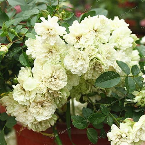 AGROBITS Cubierta de tierra rosas Bonsai Bonsai flor perenne cubierta de tierra flor de Bonsai Para Planta de interior Hogar Jardín 100 PC/bolso: Amazon.es: Jardín