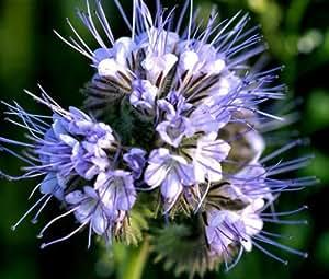 LACY PHACELIA Phacelia Tanacetifolia - 50,000 Bulk Seeds