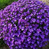 20 seeds/pack Blue flower balcony bonsai Aubrieta cultorum seeds