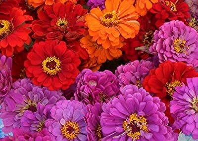 50+ Magellan Mix Zinnia Flower Seeds / Long Lasting Annual / Maroon, Pink, Lavender