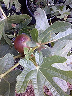 (1 Gallon) Fig Plant, BLACK MISSION, -Gallon Size, considered best all round fig, very popular fig, originated from spain, pear shaped, black to purple black color, will bear fruit coming season