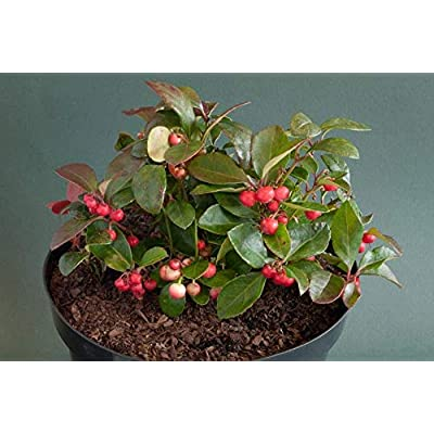 AchmadAnam - Live - Ground Cover Gaultheria procumbens (Wintergreen) Very Cold Hardy Broad Leaf Evergreen (-39.9C (-40F)). E3 : Garden & Outdoor