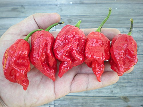 (1000) Trinidad 7 Pod (7-Pot) Barrackpore strain seeds by MW061