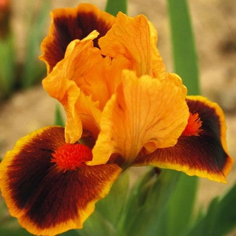 (Fancy Mixed Bearded Iris Root,Rhizome, Plant,Start, For Spectacular Flowers Year After)