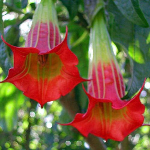 10 Red Angel Trumpet Seeds Brugmansia Datura Flower Fragrant Small Shrub Garden