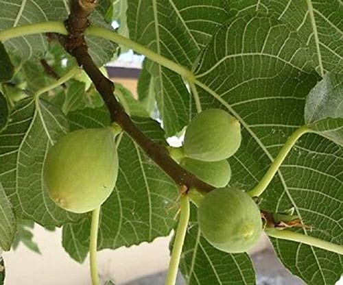 Hardy Fig Fruit Tree Kadota White Endich Florentine Honey Dattero Live Plant Home Garden