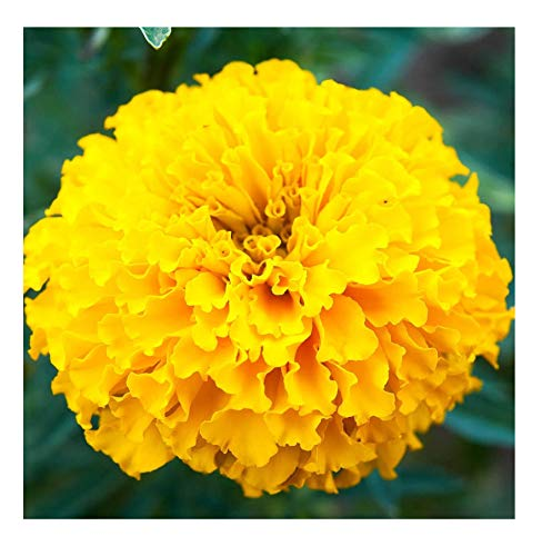 African Marigold Crush Series f1 Flower Seeds Annual Non-GMO (100, Papaya)