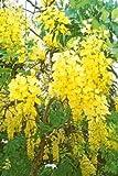 15 GOLDEN SHOWER TREE Gold Rush Yellow Cassia Fistula Flower SeedsComb S/H by Seedville