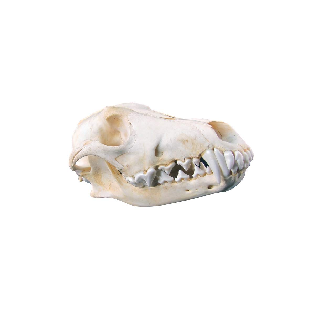 TG,LLC Real Coyote Skull Genuine Taxidermy Animal Bones Unique Hunting Cabin Bar Decor by TG,LLC