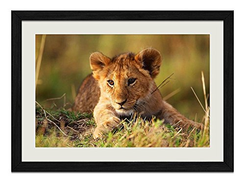 (R.Maltto Lion cub - Art Print Wall Hang Black Wood Frame Poster Framed Picture Home Decor(24x16inch) )