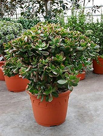 Geldbaum Sunset Robuste Zimmerpflanze Fur Sonniger Standort Crassula