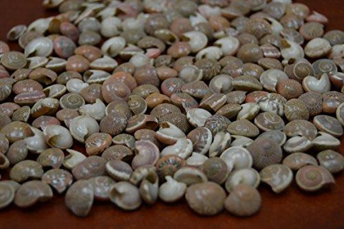 (350+ Pcs Pink Tiny Pearl Umbonium Sea Shell Beads Craft 1/4 Pound)