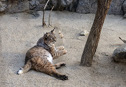 18 x 24 Art Canvas Print of A bobcat relaxes at the Living Desert Zoo and Botanical Gardens in Palm Desert California r84 2013 by Highsmith, Carol M.