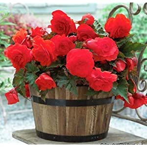 Begonia Double Red (3 Bulbs) Fragrant blossoms from Summer to Frost, Zone 9-11