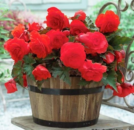 Begonia Double Red (3 Bulbs) Fragrant blosssoms from Summer to Frost, Zone 9-11