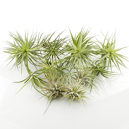 Bundle of 12 Air Plants Variety pack (4 smalls, 4 mediums, 4 large) by NW Wholesaler