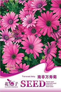 1 Marigold Seed 15 Transvaal Daisy African Flowers Seeds Purple Red Big HOT A162 By Mikedaoer