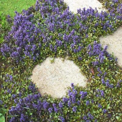 Classy Groundcovers - Bugleweed 'Chocolate Chip' 'Valfredda', A. tenorii {25 Pots - 3 1/2 in.} by Classy Groundcovers (Image #1)