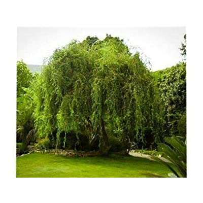 Live Plant - Trade Gallon Pot - Golden Curls Corkscrew Weeping Willow Live Tree Plant for Planting Outdoor #RR07 : Garden & Outdoor