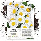 Seed Needs, White English Daisy (Bellis perennis) 1,000 Seeds