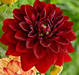 (3) Dahlia Mingus Alex Dinnerplate Flowering Dahlia Bulbs, Plants, Flowers, SeedsBulbsPlants&More