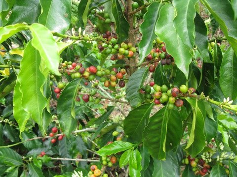 5LBS Colombia Narino Fiesta Washed Unroasted Green Coffee Beans