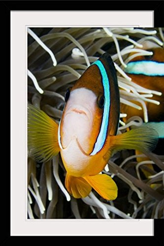 GreatBIGCanvas ''Indonesia, Clark's Anemonefish (Amphiprion Clarkii) and Sea Anemone'' by Dave Fleetham Photographic Print with Black Frame, 24'' x 36'' by greatBIGcanvas