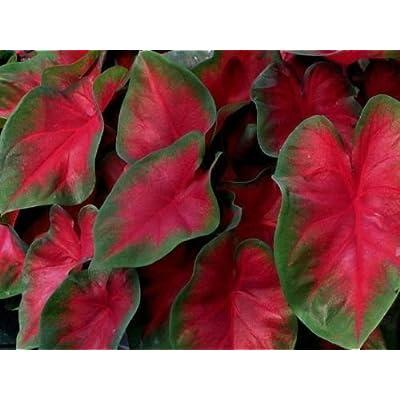 Caladiums, Florida Cardinal, (5 Bulbs) Thrives in Heat and Humidity : Garden & Outdoor