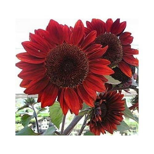 Cheap Heirloom 100 Seeds Helianthus Sunflower Jerusalem Artichoke Sunroot Red Flower Bulk Seeds B4073 hot sale
