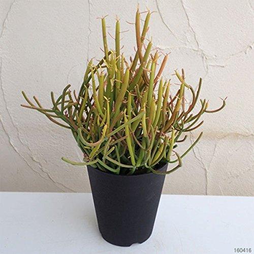 ミルクブッシュ イエローマジック4.5号鉢植え[サンゴのような葉が赤く色づく観葉植物]