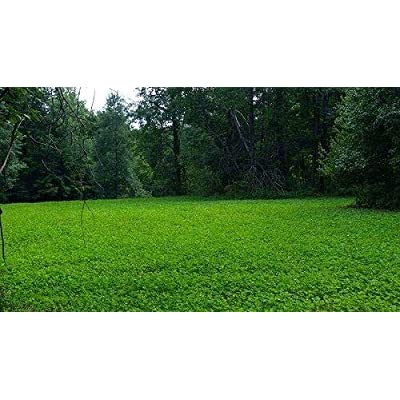 AchmadAnam - Seeds - 20 Lbs Jumbo Ladino White Clover for Food Plot Larger Leaves Faster Growing : Garden & Outdoor