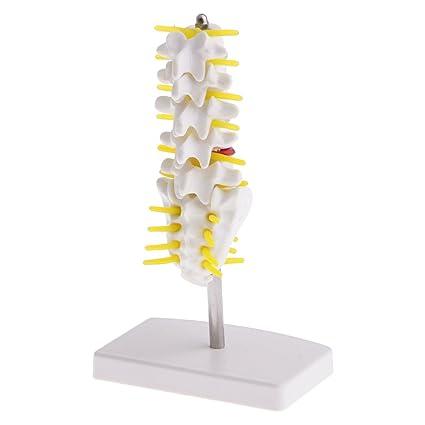 Fenteer 15cm Modelo de Vértebras Lumbares de Tamaño Natural para ...