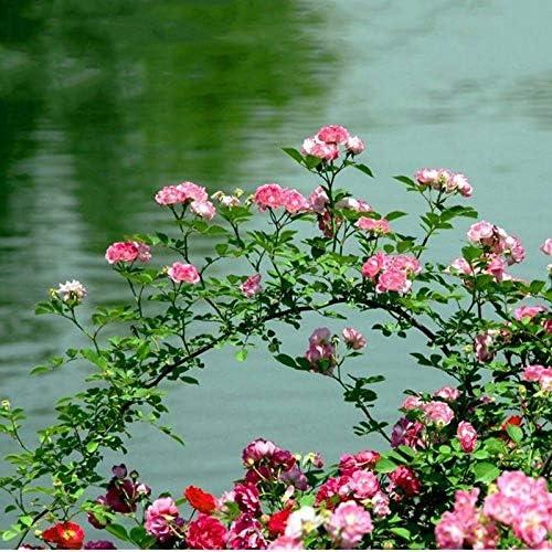 Portal Cool Púrpura: Semillas 100 piezas rosas trepadoras plantas trepadoras rosales trepadores Semillas Bonsai Plant: Amazon.es: Hogar