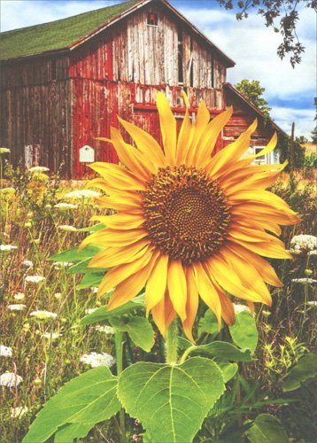 Sunflower And Barn - Avanti Deluxe Matte Blank Card